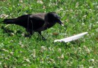 Es to redzēju savām acīm! Vārna ēda parkā, bet tas ko viņa izdarīja pēc tam mani ļoti pārsteidza (+ foto)