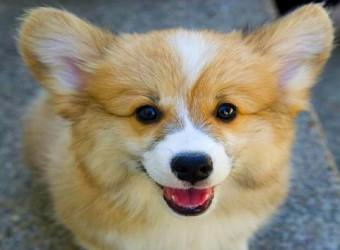 Pembroke-Welsh-Corgis-Having-Fun-Funny-Dog-Video