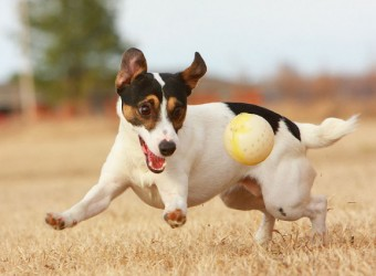 happy-jack-russell