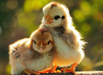 baby-chikens
