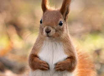 squirrel_animal_close-up_forest_nice_hd-wallpaper-343333