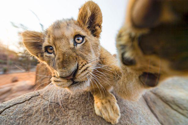 lion-selfie