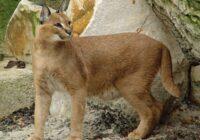 Retas kaķu šķirnes: Cik izmaksā pasaulē retāko kaķu iegāde (+ FOTO)