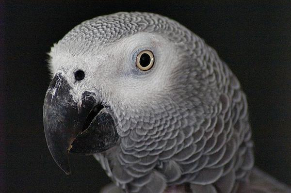a99933_agp-african-grey-parrot-pet-head-by-peter-f
