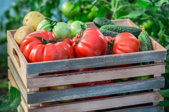 Līdzeklis, kas jāuzsmidzina uz tomātiem un gurķiem siltumnīcā, lai tie neslimotu