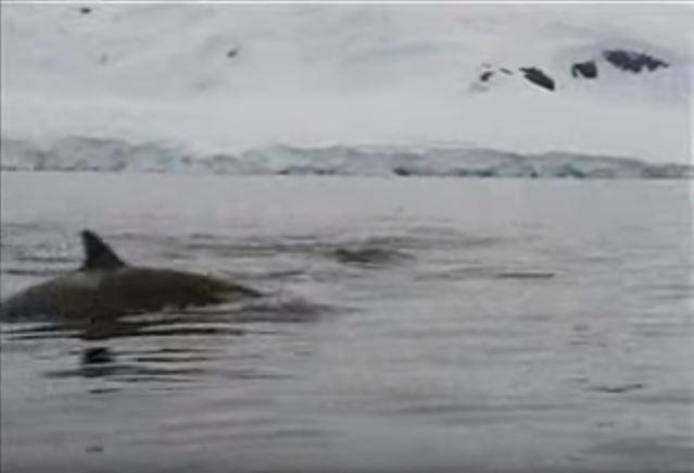 Nofilmēts kā 2 vaļi mēģināja nomedīt vienu pingvīniņu, bet tas izrādījās gana gudrs (VIDEO)