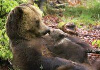 Par to, kā mežsargs izdzirdēja rēcienu aiz loga: bet pie vārtiem stāvēja lācis un lūdza palīdzību