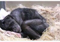 """VIDEO: Mirstošā šimpanze """"cilvēcīgi"""" atvadījās no vīrieša, kuru viņa pazina vairāk nekā 40 gadus"""