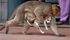 Uzzināju, ka paviāni no cilvēkiem zog kucēnus! Bet vispārsteidzošākais ir, ko viņi ar tiem dara vēlāk…